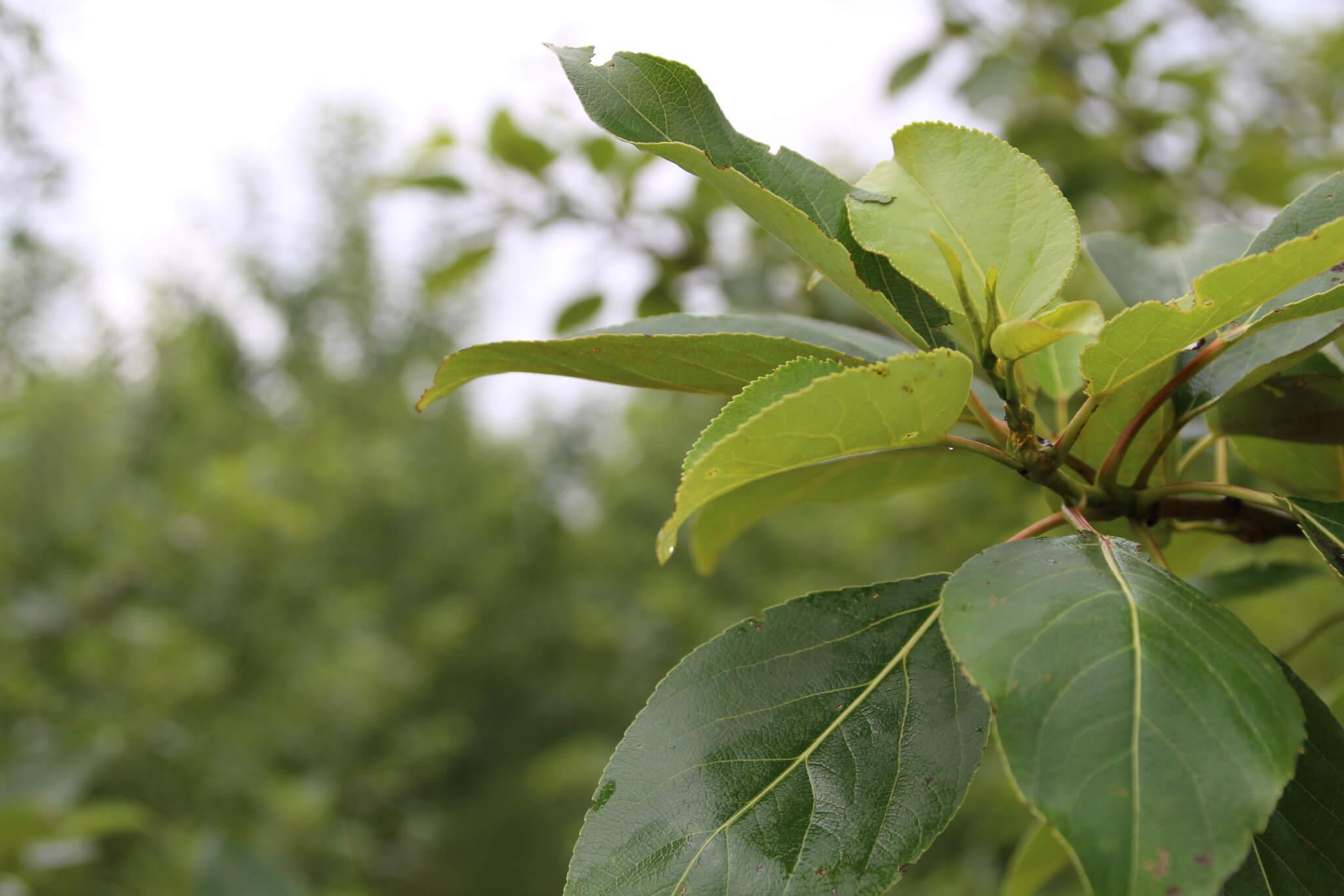 Poppeltræ