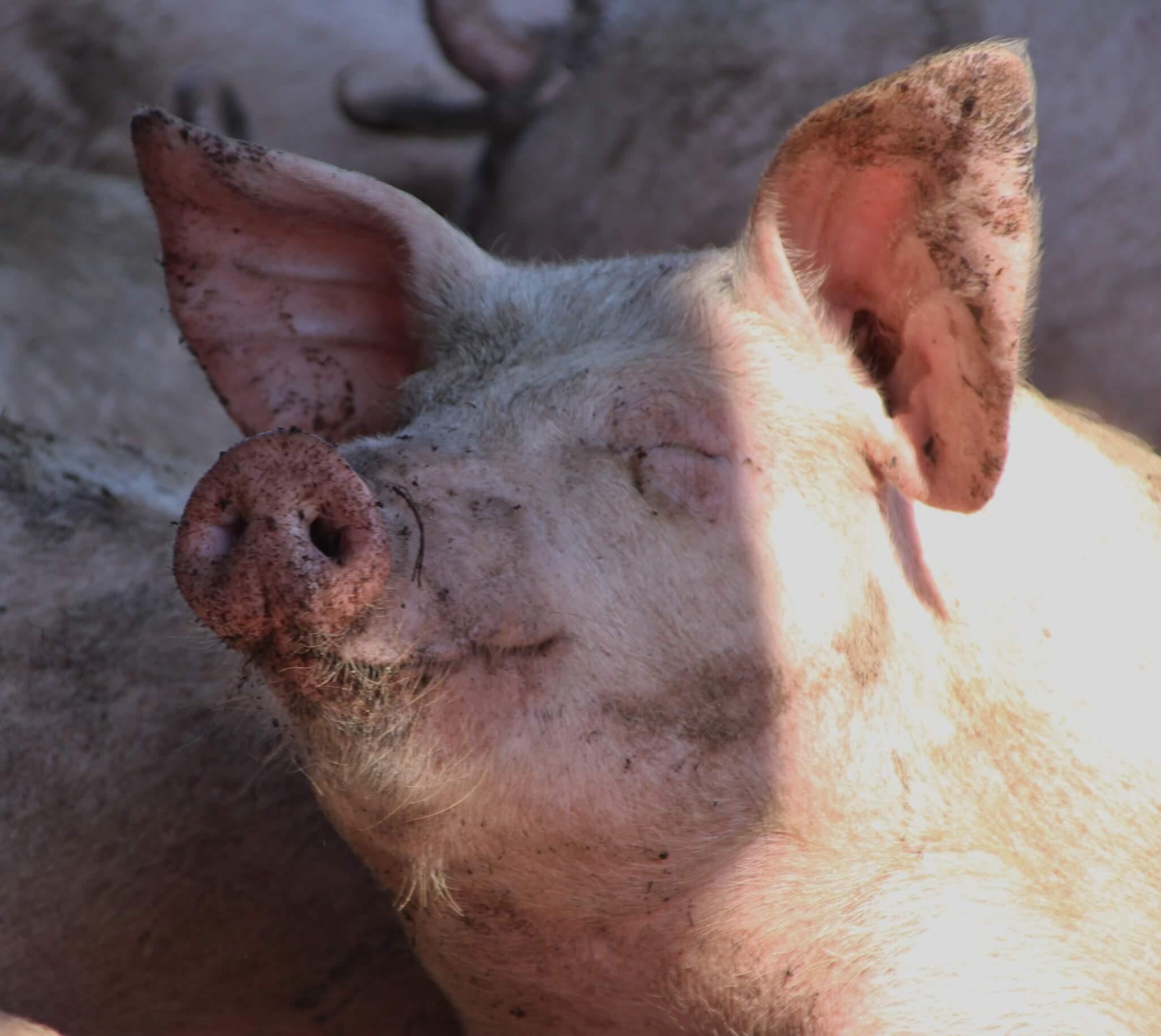 grisens år betydning