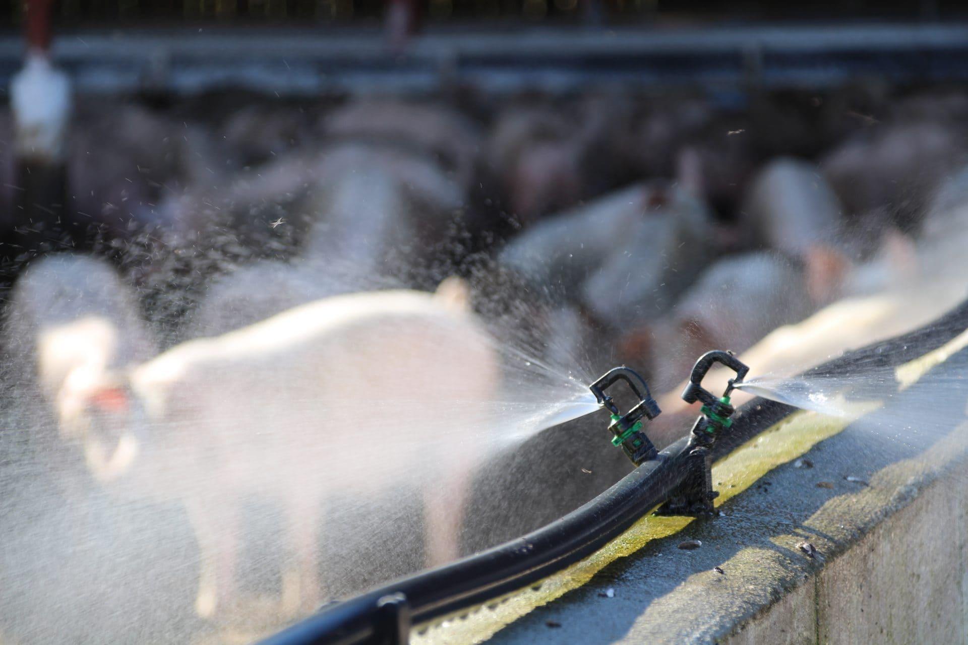 Sprinkler med vand i øko grisestald