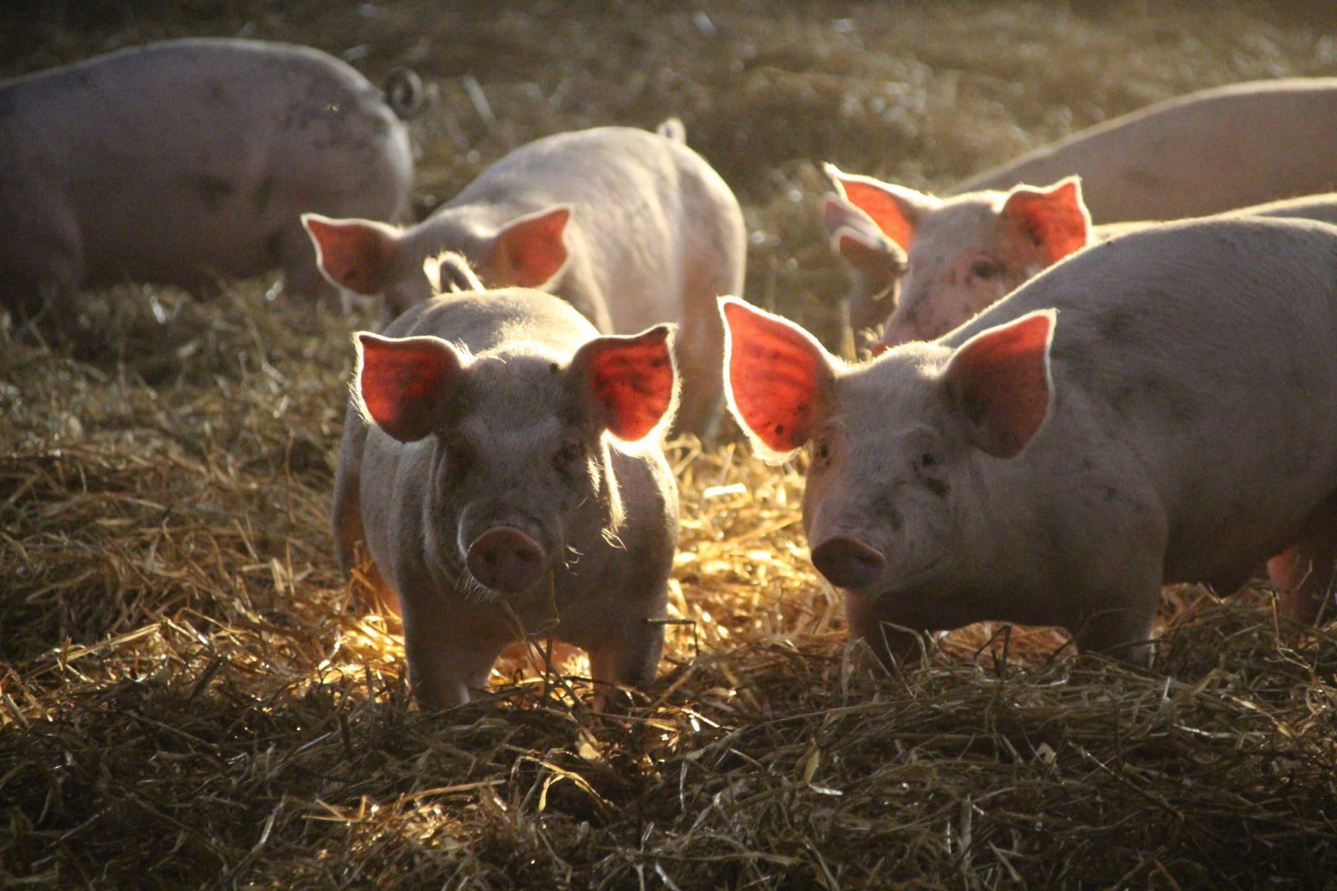 Øko grise i dybstrøelse