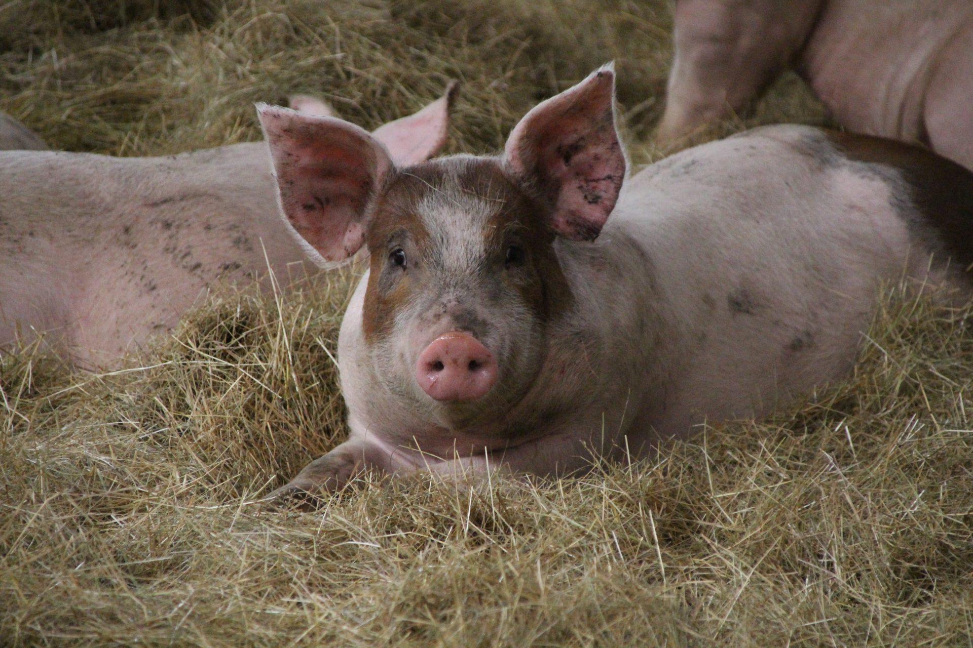 Øko gris i dybstrøelse