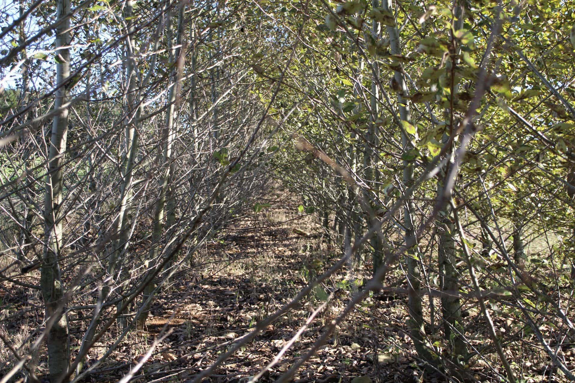 Skov af poppeltræer