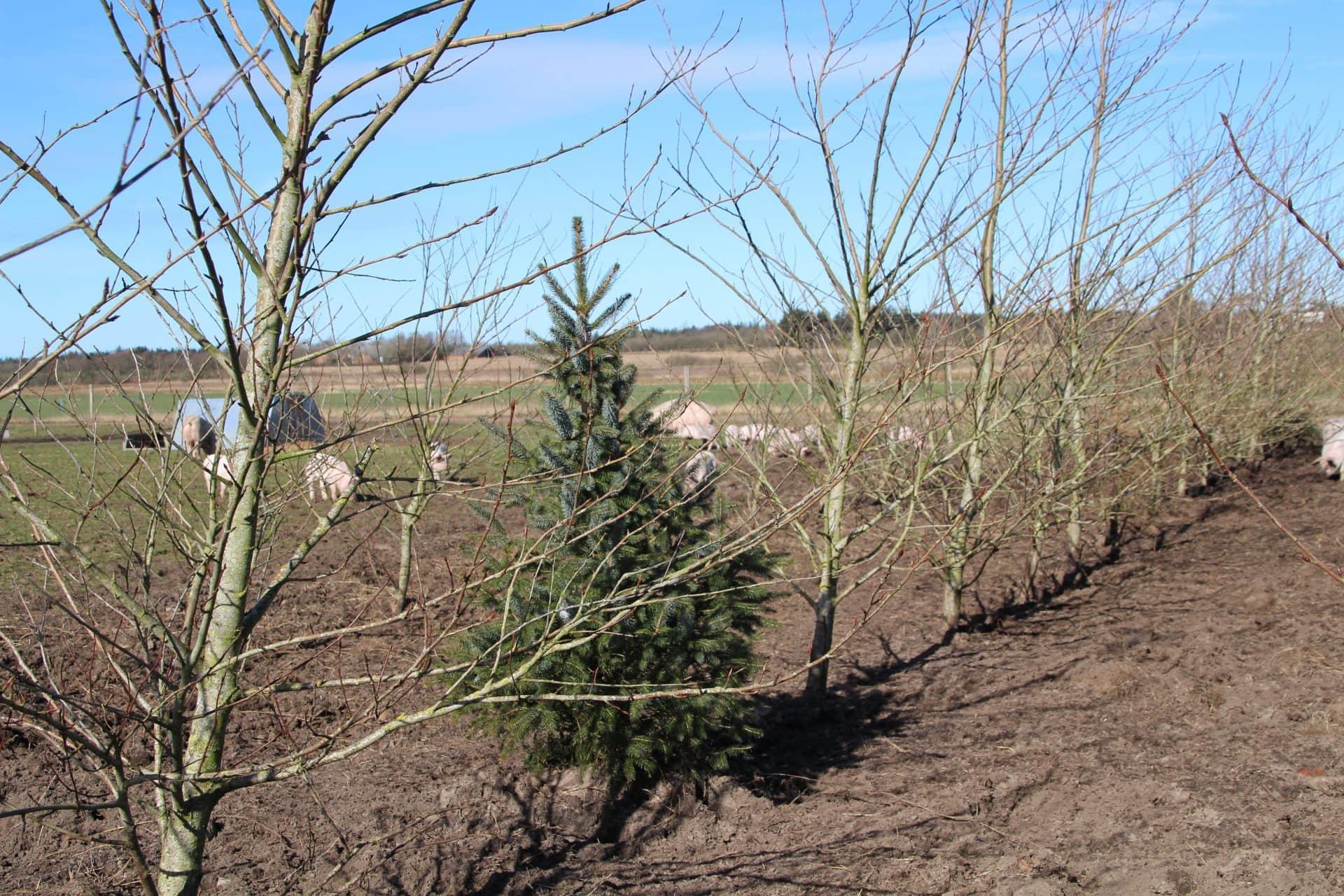 Grisene på faremarken bag træer