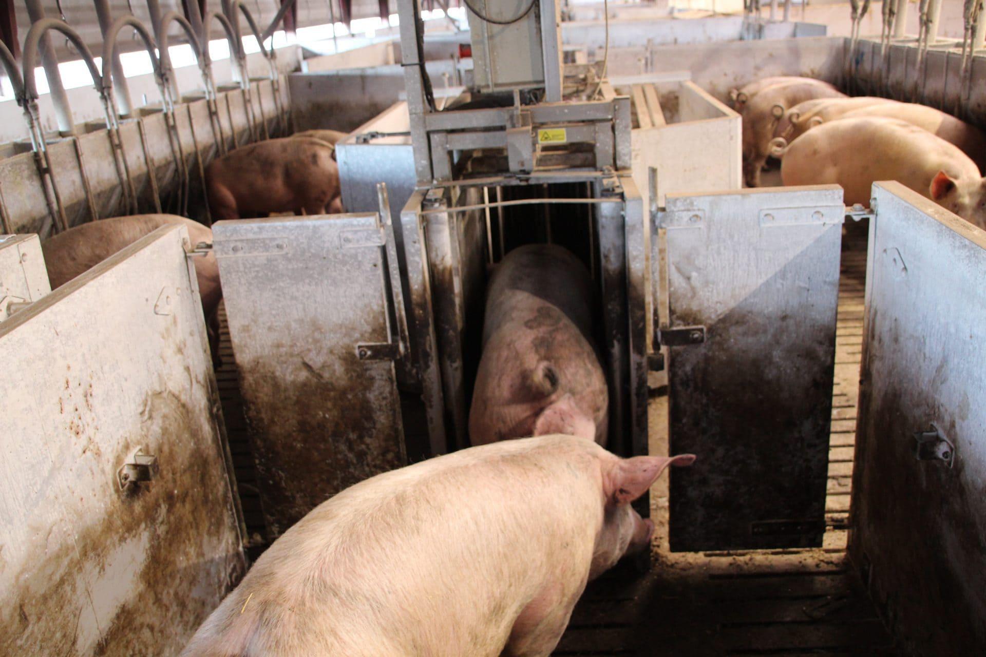 grisenes adfærd behandling dyrevelfærden