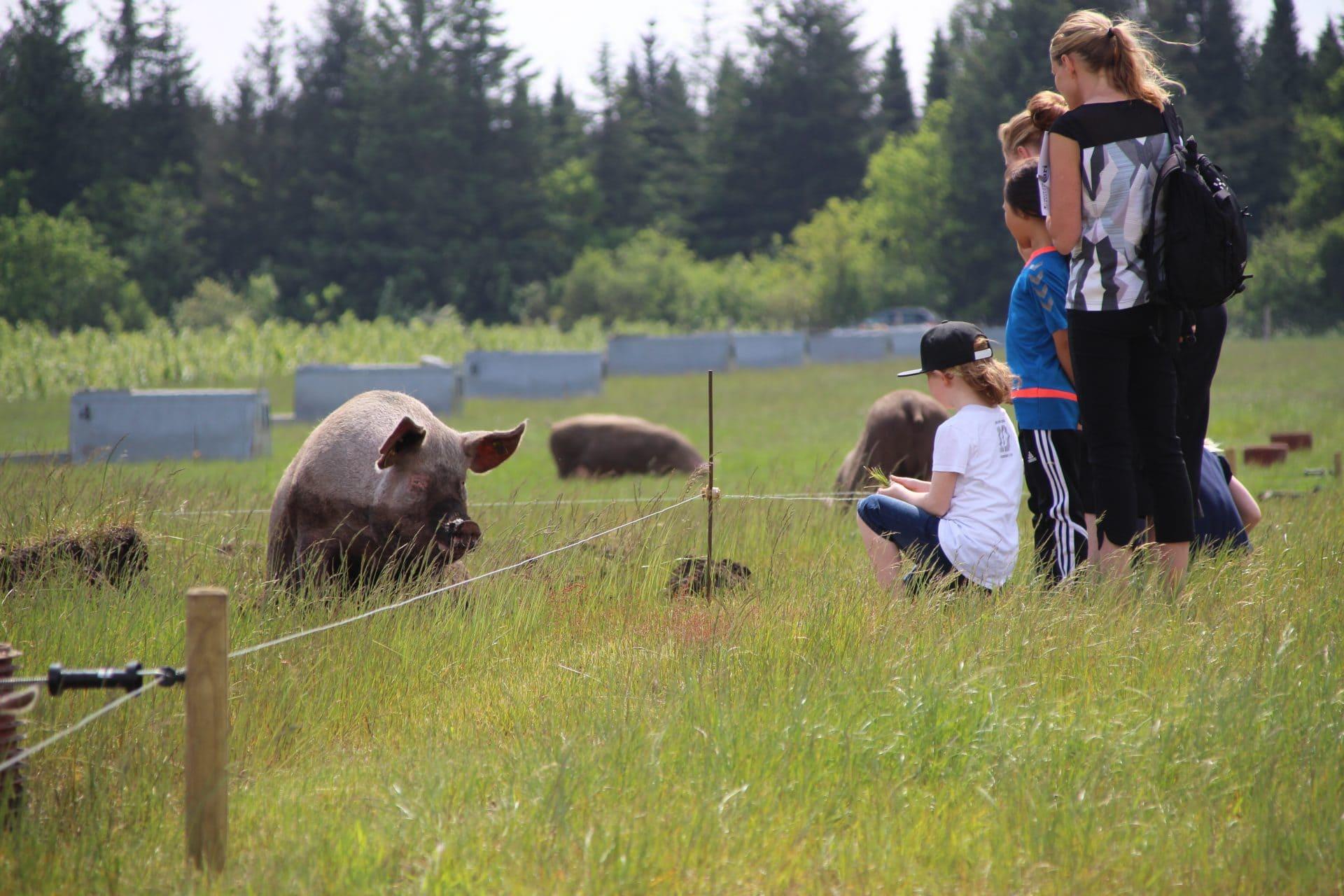 Besøgene til Sofari ser på grise i marken