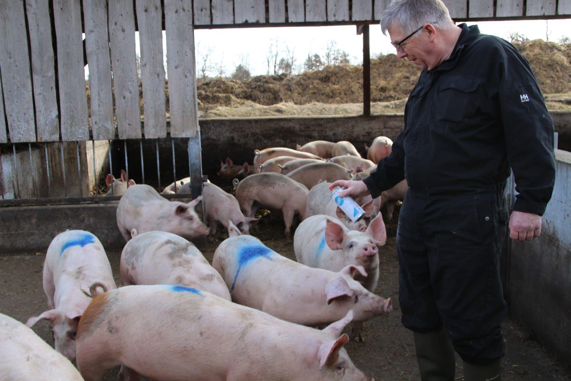 Søren Peder afmærker de økologiske grise