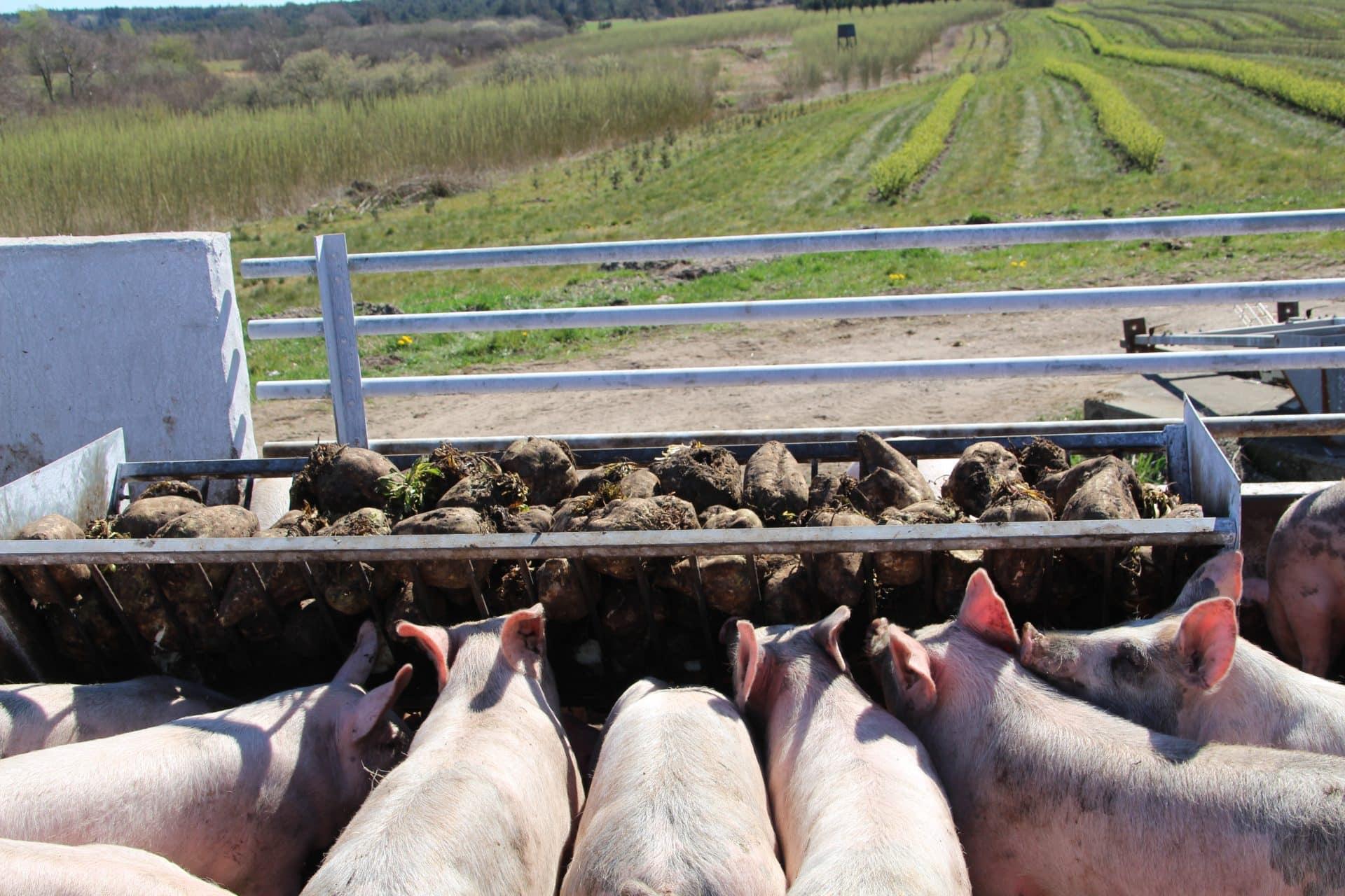 Økologiske rodfrugter til grisene