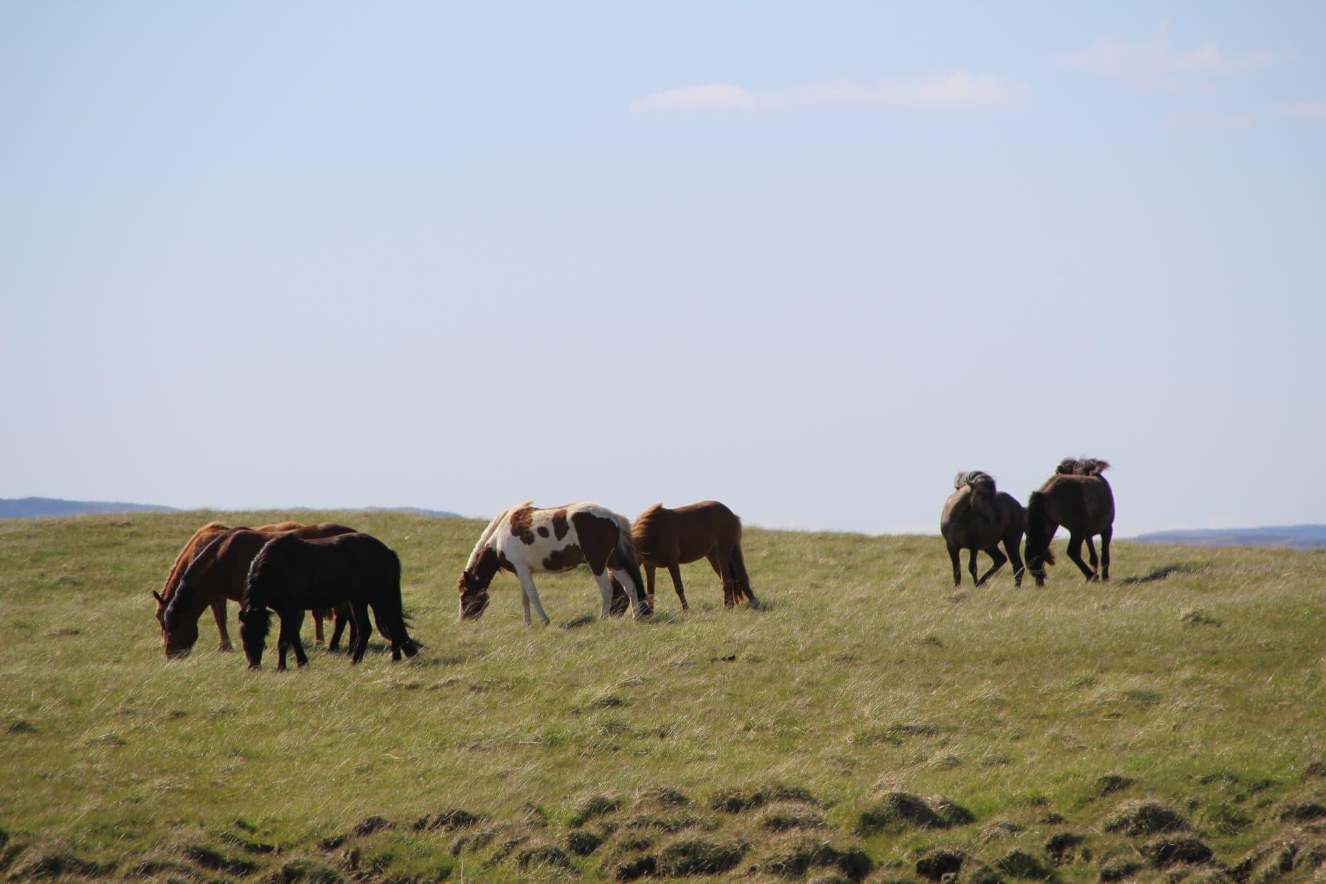 Islandske heste Island