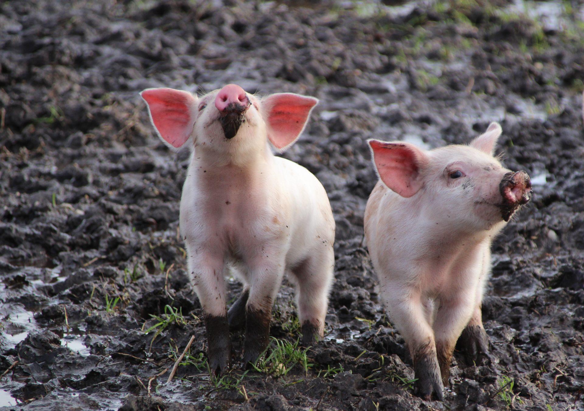 Små grise med mudder på trynen